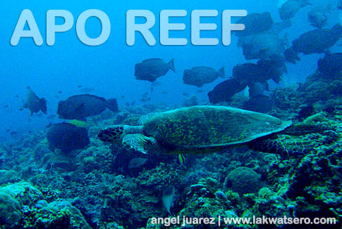 Dive Apo Reef