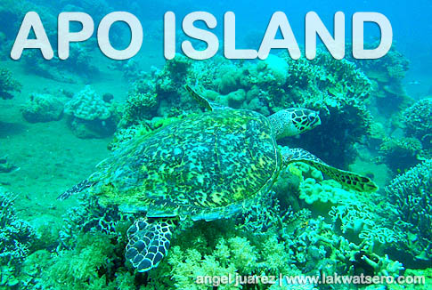 Hawksbill Sea Turtle in Apo Island